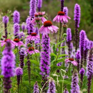 ECHINACEA - Blog Post by Probioskin